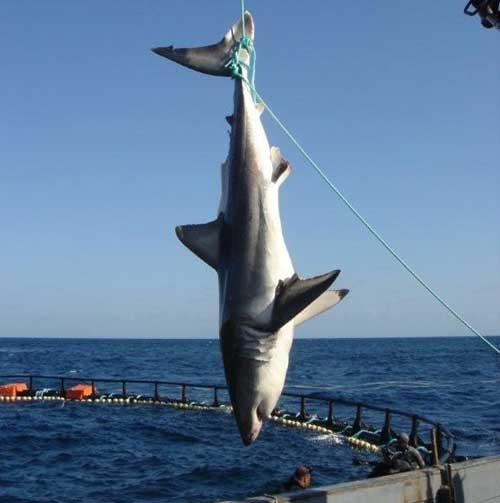 tiburon blanco tunez