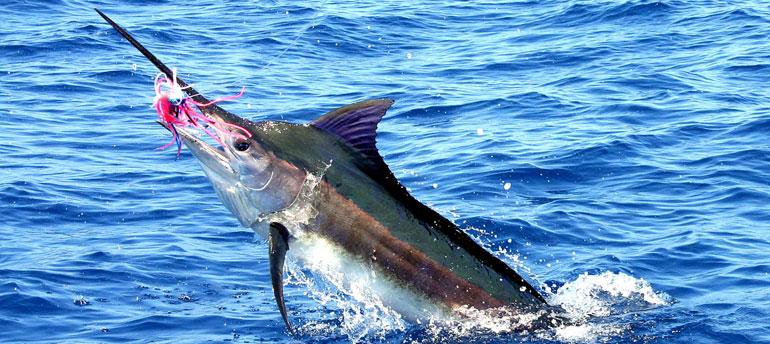 pez aguja azul